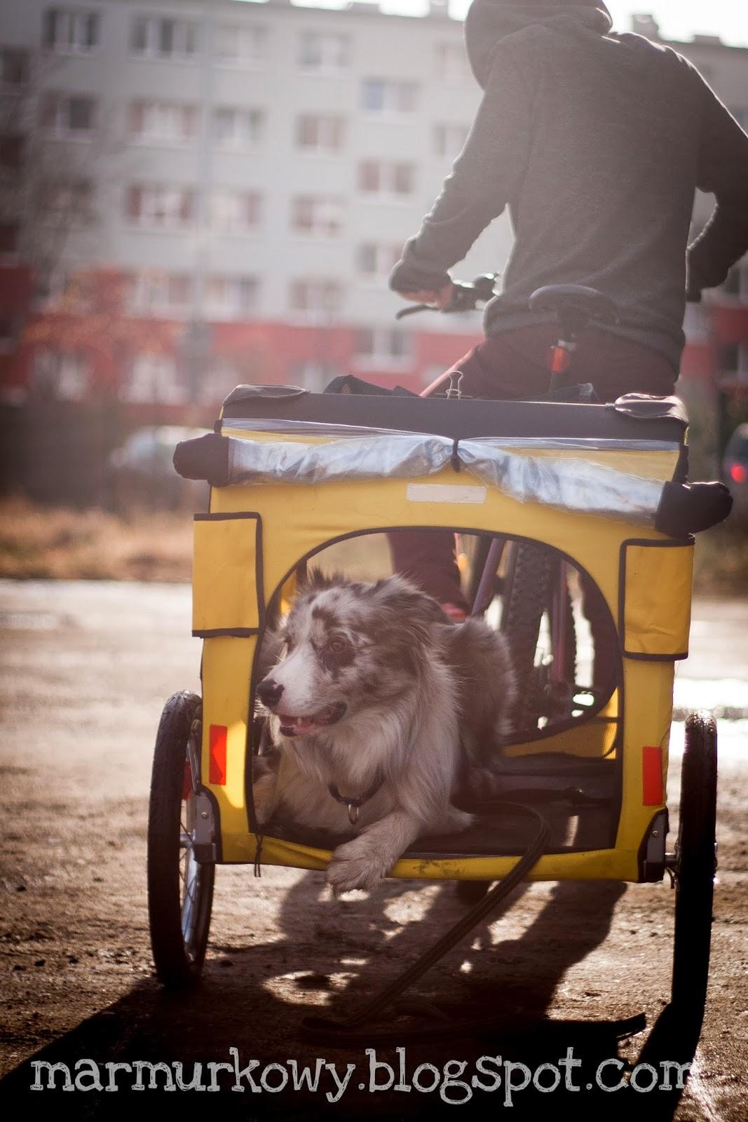pies w przyczepie
