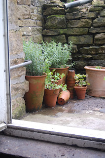Rosemary plants near the back door