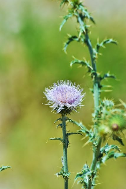 Mohave Thistle, Cirsium mohavense_7168
