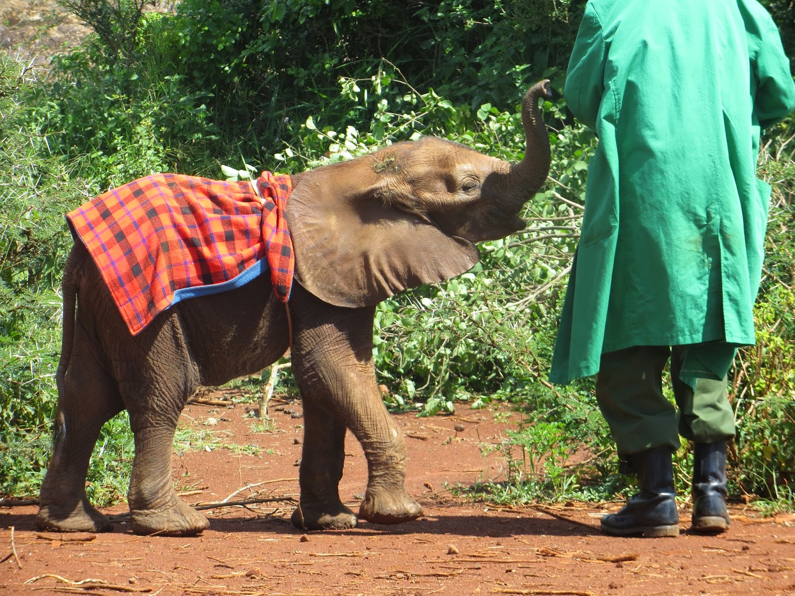 Baby Elephant with Blanket at David Sheldrick Wildlife Trust  - Hello, Handbag