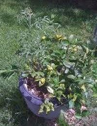 Buah Lemato, Tanaman Hasil Silang Lemon dan Tomat