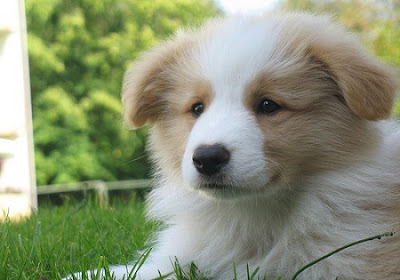 Collie Puppy Picture