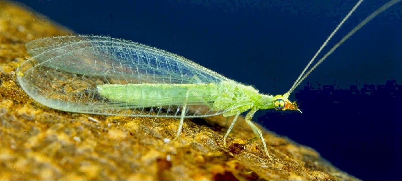 Backyard Birding....and Nature: Green Lacewing Larvae or ...