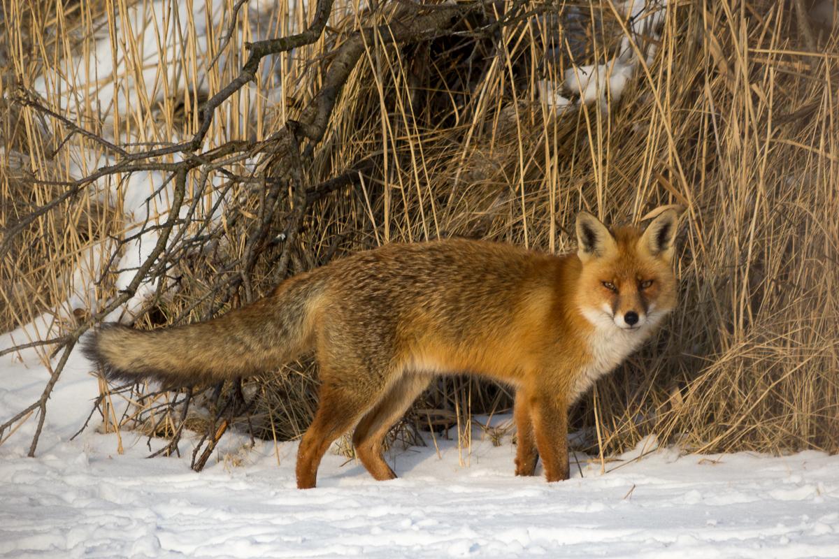 Wilde vos in de sneeuw (AWD, 2013)