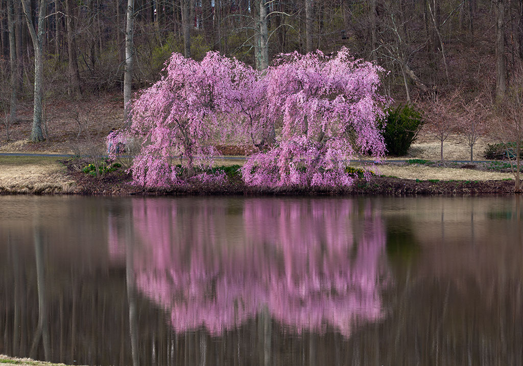 Radiant View Photography Photo Blog Cherry Blossoms At Meadowlark Botanical Gardens