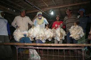 Cara mengevaluasi ferformance ayam broiler sebelum ayam dipanen
