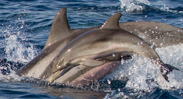 Dolphin Biology and Conservation: Striped dolphin newborn
