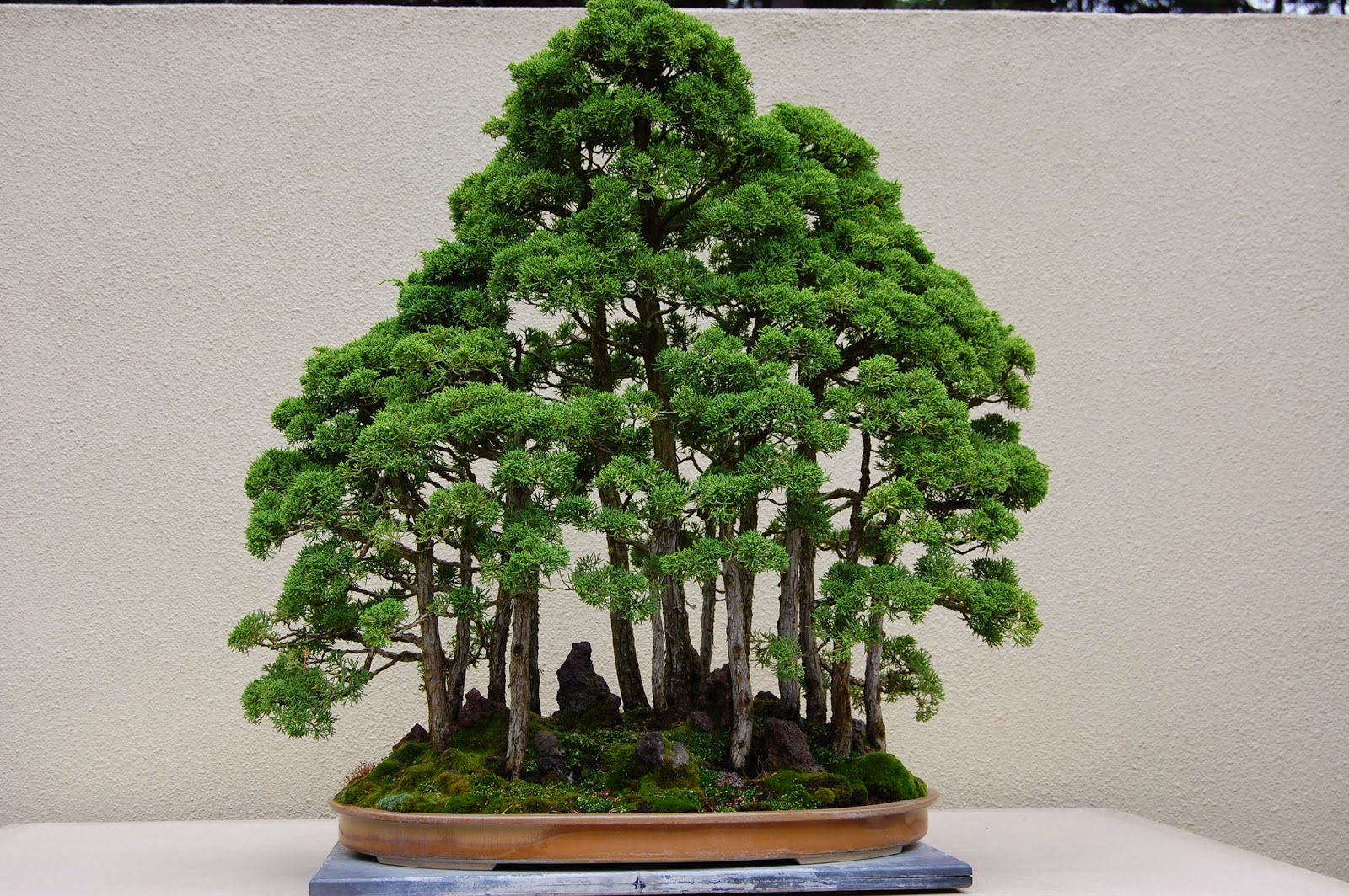 NORDIC NEBARI By Kenneth Olsen RAFT STYLE BONSAI IN THE MAKING