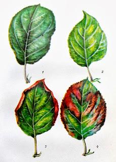 Признаки недостатка питательных веществ у яблони