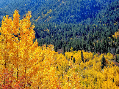 Fall in the Rockies aspen trees and evergreens.