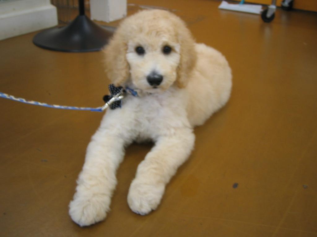 Venicepets Todays Customer Tristan Standard Poodle Puppy