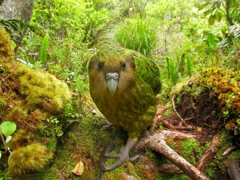 http://2.bp.blogspot.com/-6XYsmapRZiU/TbpeGS9LoaI/AAAAAAAAA4U/xZugvND_mvQ/s1600/Image+Kakapo.jpg