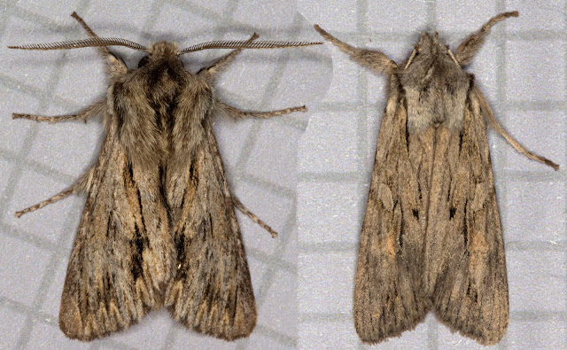 Sprawler, Asteroscopus sphinx, left; Blair's Shoulder-knot, Lithophane leutieri ssp. hesperica, right.