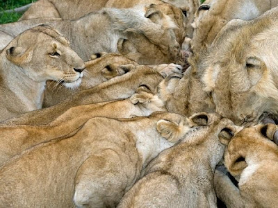 Amazing Hungry Lions