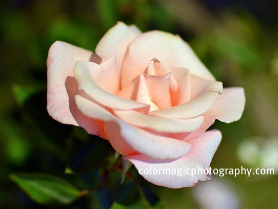pink autumn roses