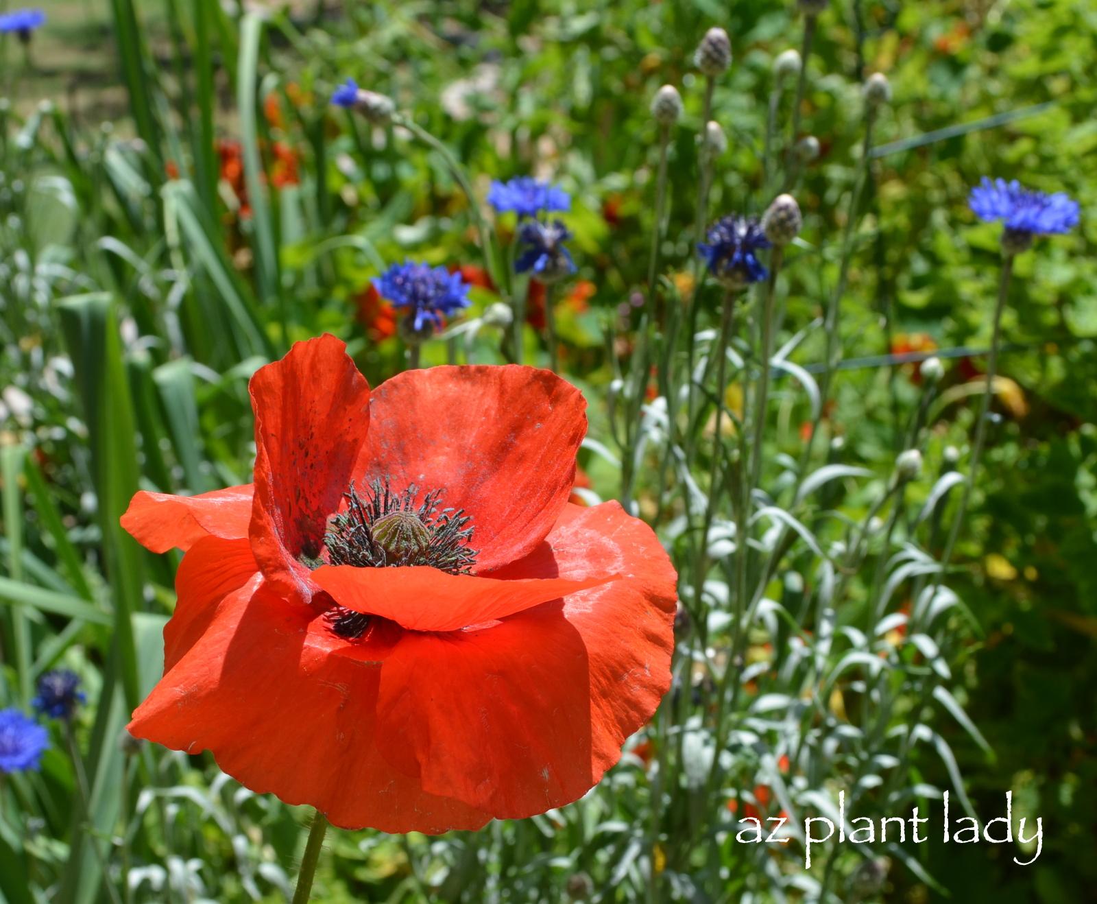 Red Poppies Ramblings From A Desert Garden