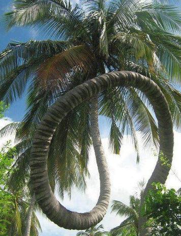 Pohon kelapa aneh