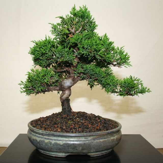 tamarind tree bonsai