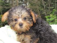 ヨークシャーテリア, 子犬, ブリーダー, 仔犬, 価格, 販売, ドッグフード, 通信販売, 通販