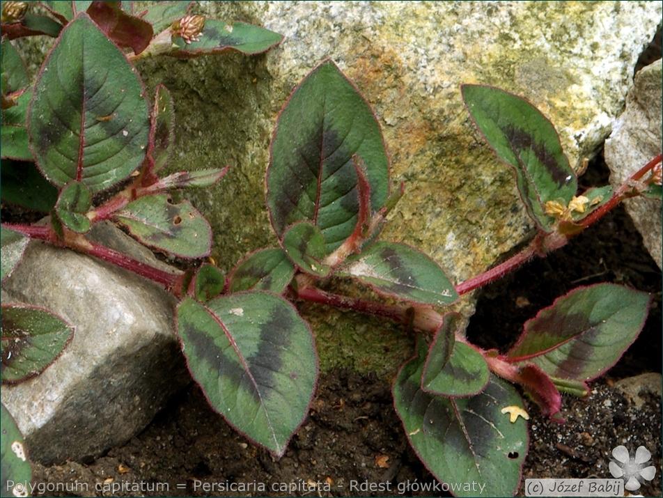 Polygonum capitatum = Persicaria capitata - Rdest główkowaty liście