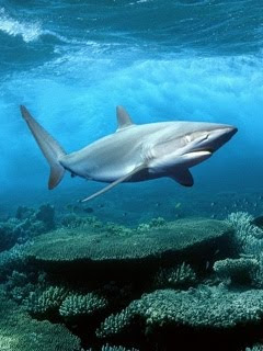 Morski pas ajkula download besplatne pozadine slike za mobitele