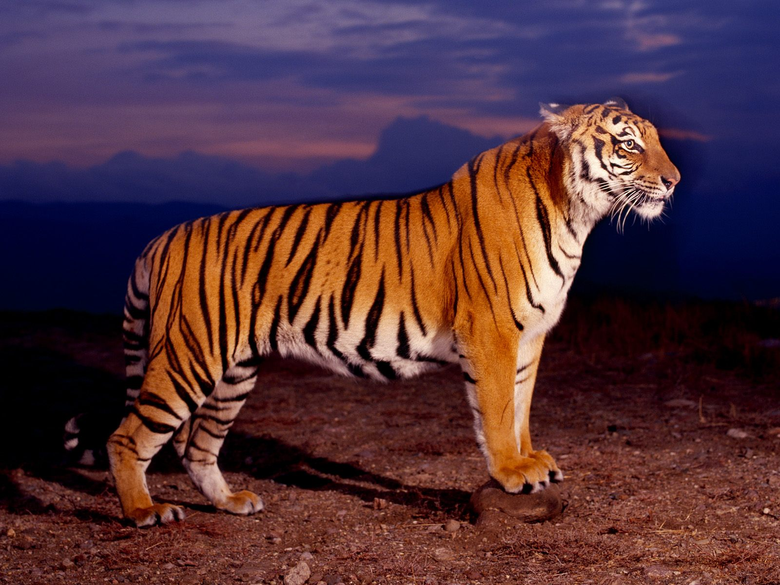 Tiger Hd Wallpapers