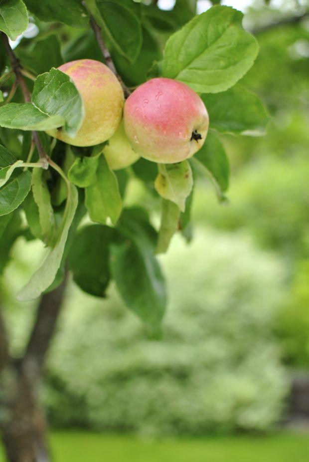 äppelträd äpplen höst trädgård