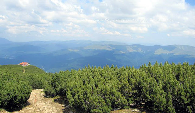 Mugo Pine Plateau , Carpathian Mountains, Romania