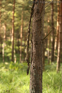 branche serpent arbre sous-bois forêt Fontainebleau Seine-et-Marne