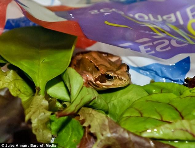 katak dalam beg salad yang dibeli dari Tesco