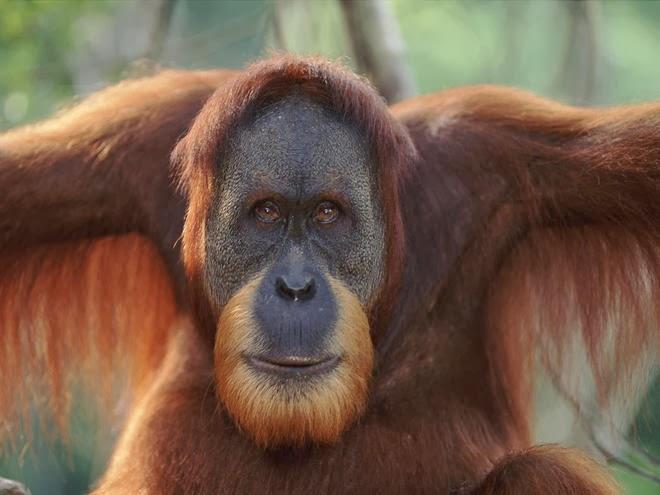 diary of a primatologist apeweek day 3 the orangutan pongo pygmaaeus abelii. Black Bedroom Furniture Sets. Home Design Ideas