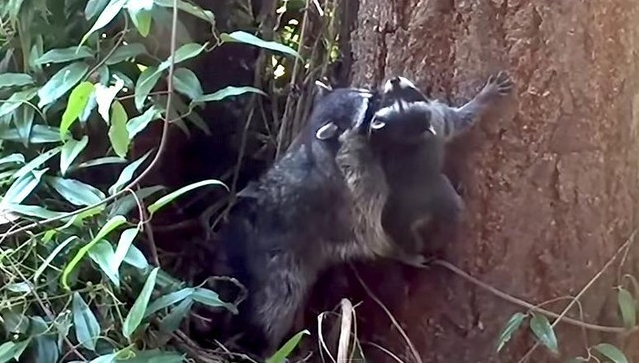 Mother Raccoon Patiently Teaches Her Baby How To Climb A Tree