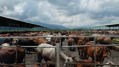 Trang trại bò Gia Lai là 1 trong 5 trang trại của HAGL, được đầu tư theo quy trình khép kín. Đàn bò thịt tính đến nay vào khoảng 32.000 con, và khoảng 10.000 con bò sữa.