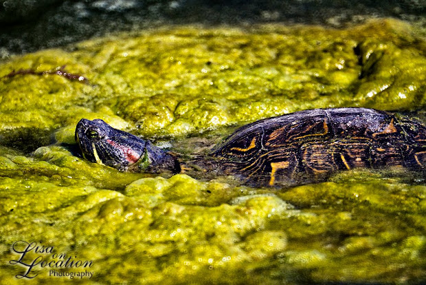 red-eared slider, turtle, 365 photo project, Lisa On Location, New Braunfels, Texas