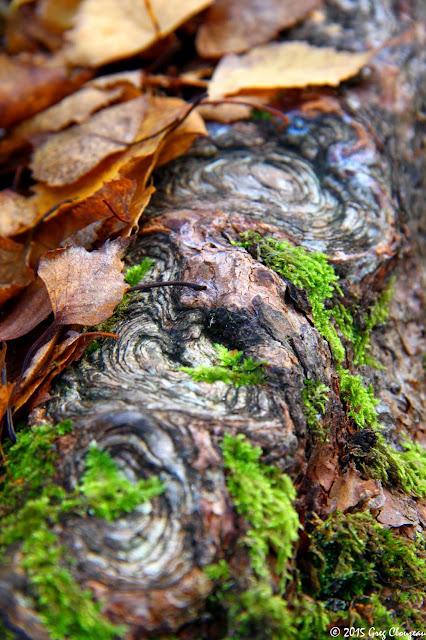 Nœuds d'automne, racine de pin, Fontainebleau, (C) 2015 Greg Clouzeau