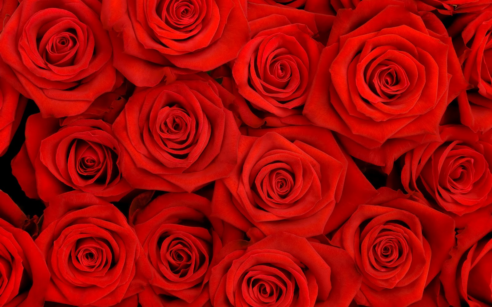 Wallpaper Red Rose Background