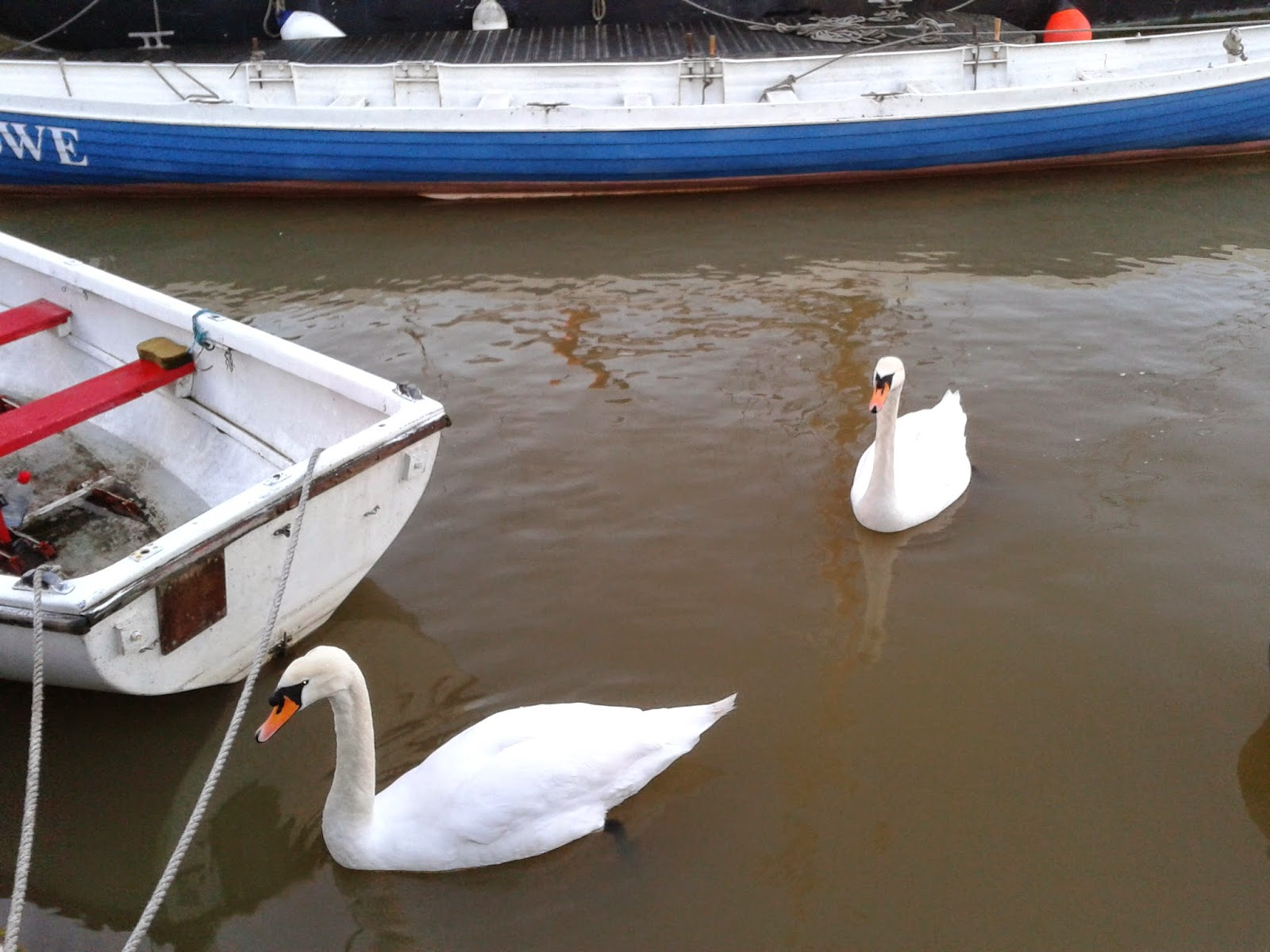 Swans on Bristol harbour