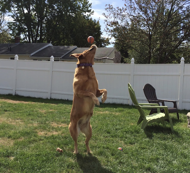 Golden Retriever dog catching a ball #mondaymischief