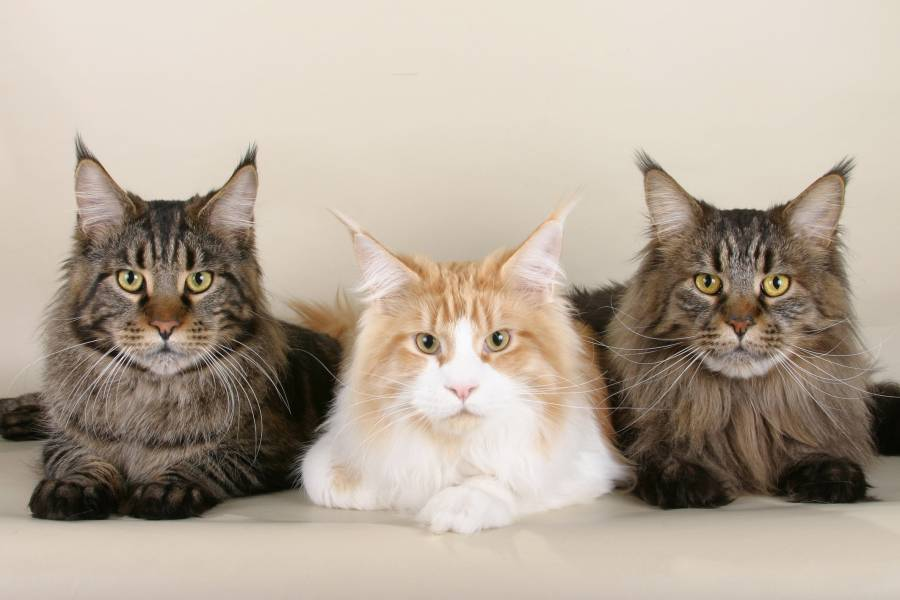 Animal Photo Best Main Coon Cat Wallpapers