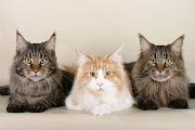 maine coon cat wallpaper. Maine Coon. Pet Cats Wallpaper