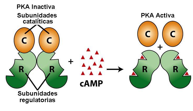 hormonas metabolicas y anabolicas pdf