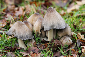 Common Inkcap
