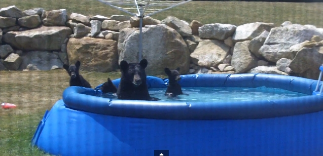 Moma Bear and cubs spotted swimming in backyard pool (VIDEO)