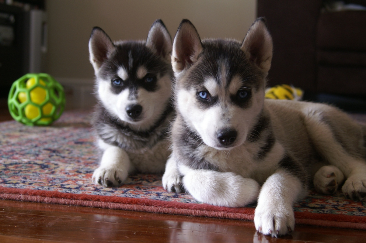Cute Siberian Husky Full-Grown Dogs HD wallpaper