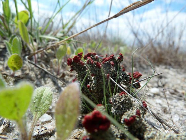 Cladonia lichen in sand, Brooklyn