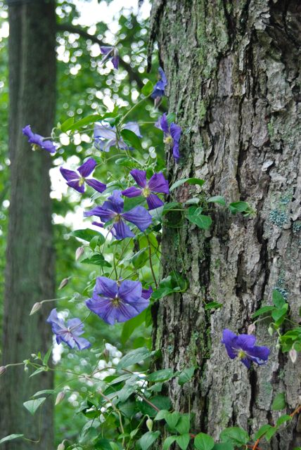 Clematis 'Perle d'Azur' trained up our mature maple tree.