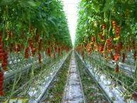 Hama tanaman tomat, Penyakit Tanaman Tomat,  penyakit pada tanaman tomat, tanaman tomat, tomat