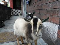 More Goat Photos