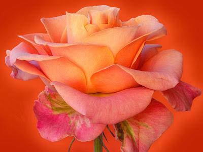 Rose Wallpaperv