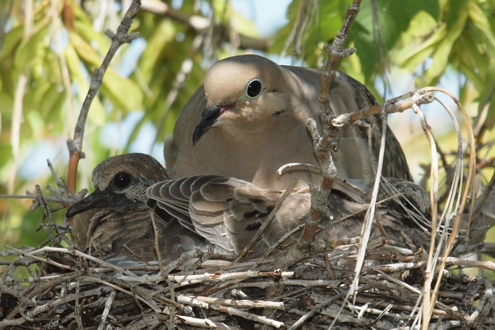 Mourning Dove Nest Birding Is Fun!: Mourn...